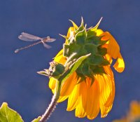 Damselfly and Sunflower