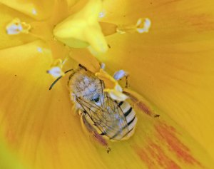 Bee in Tulip