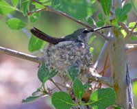 Calliope Hummingbird on Nest