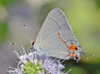 Sylvan Hairstreak Butterfly