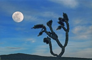 Joshua Tree and Moon