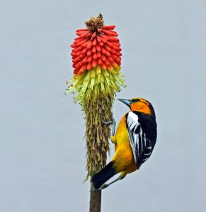 Oriole on Red Hot Poker
