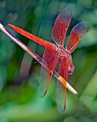 Male Flame Skimmer