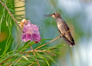 Hummingbird Singing