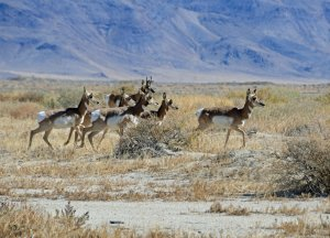 Pronghorns of Nevada