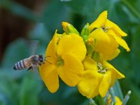 Bee and Wallflower